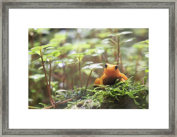 Framed Print featuring the photograph Orange Frog. by Anjo Ten Kate