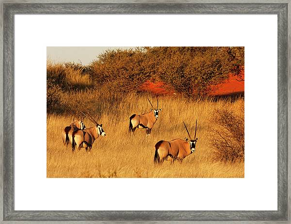 Oryx In Kalahari Desert At Sunset - Framed Print