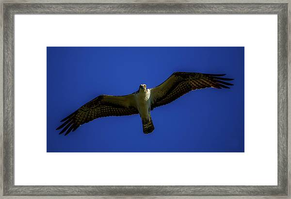 Osprey Glide In Blue Framed Print
