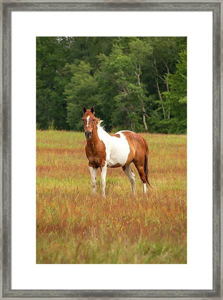 Paint Horse In Pasture Framed Print