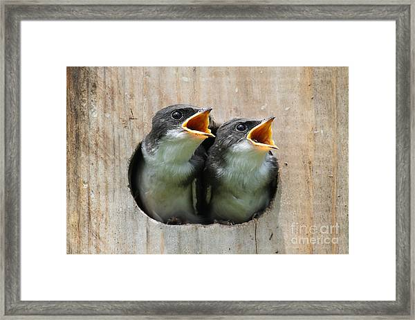 Pair Of Hungry Baby Tree Swallows Framed Print