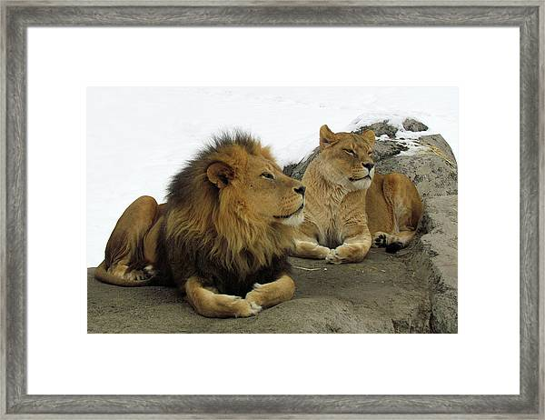 Pair Of Lions Framed Print
