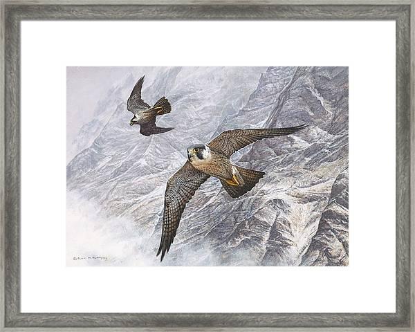 Pair Of Peregrine Falcons In Flight Framed Print