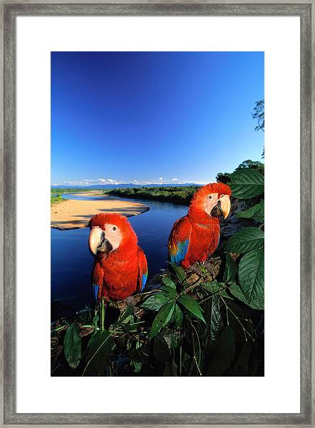 Pair Of Scarlet Macaws Ara Macao Near Framed Print