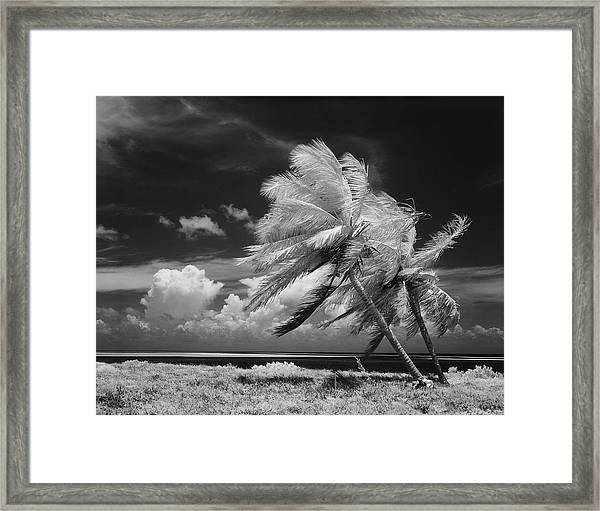 Palm Trees Blowing In Wind Framed Print