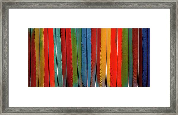 Pan Of 13 Macaw Tail Feathers Framed Print