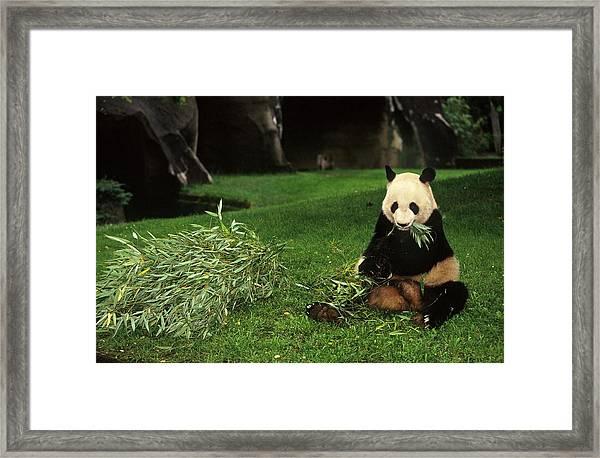 Panda Yen Yen Celebrates His 25th Framed Print by Xavier Rossi