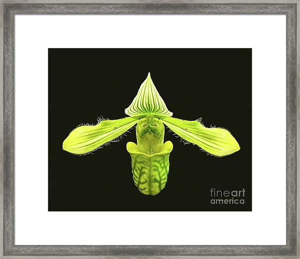 Paphiopedilum Venustum Closeup Framed Print