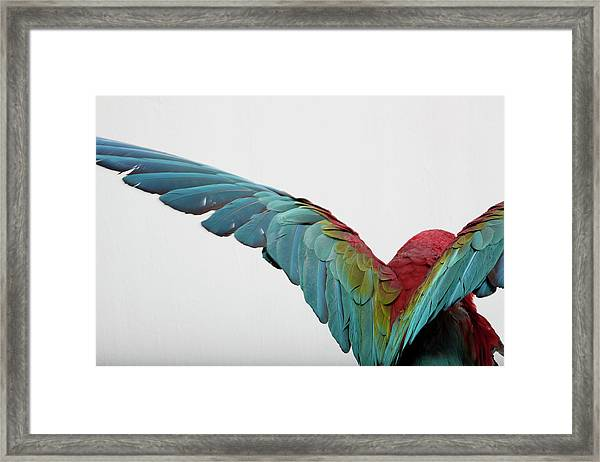 Parrot Framed Print by Zomi