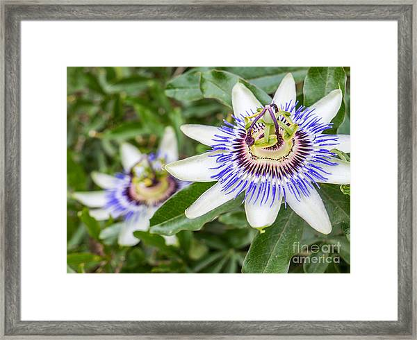 Passion Flower Passiflora Framed Print