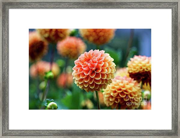 Peach Dahlias Framed Print