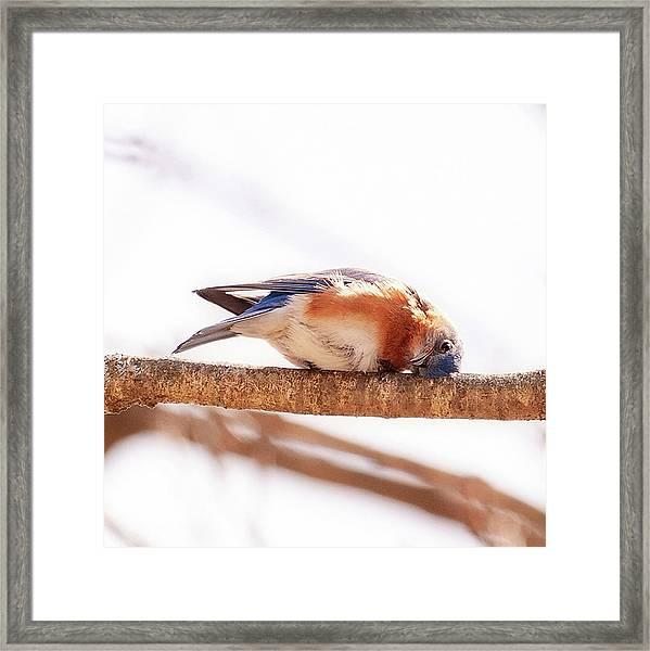Peek-a-boo Blue Bird Framed Print