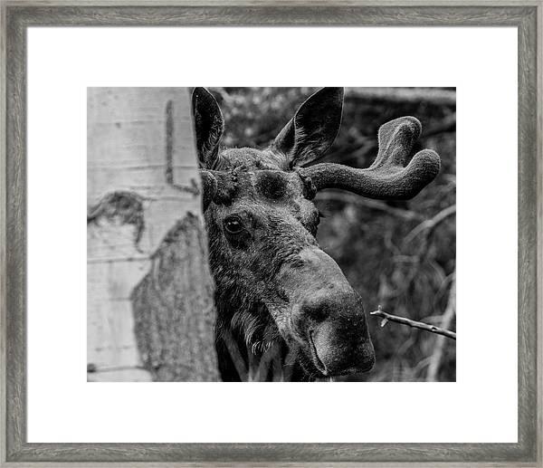 Peek-a-moose Framed Print