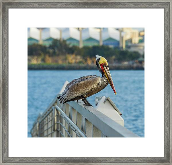 Peli-can Or Can't? Framed Print