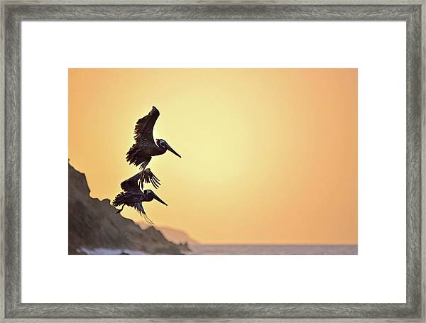 Pelican Down Framed Print