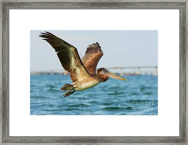 Pelican Starting In The Blue Water Framed Print