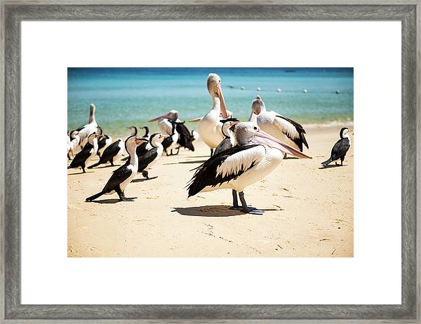 Framed Print featuring the photograph Pelicans During The Day by Rob D Imagery