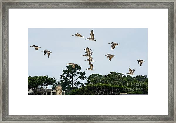 Pelicans Flying Above Homes Framed Print