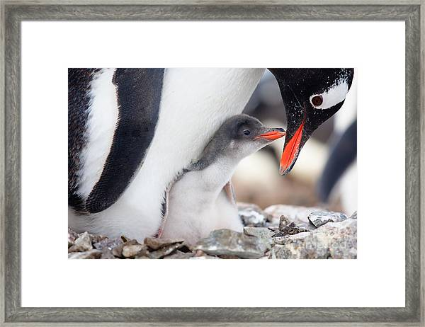Penguin In Its Nest To Protect Her Cub Framed Print