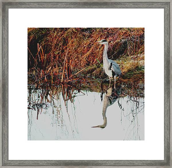 Pensive Heron Framed Print