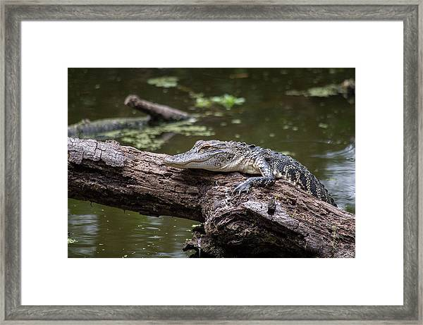 Perched Gator Framed Print