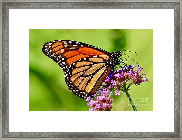 Perfect Monarch Framed Print