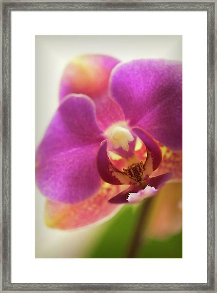 Phalaenopsis Orchid Flower, Close-up Framed Print by Maria Mosolova