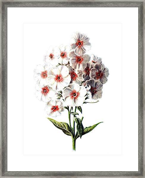 Phlox Flower Framed Print