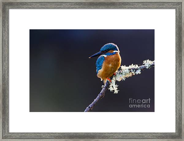 Photo Of A Common Kingfisher Alcedo Framed Print