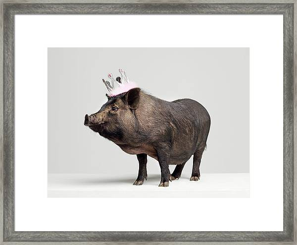 Pig With Toy Crown On Head, Studio Shot Framed Print