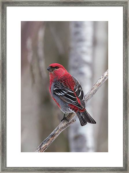 Pine Grosbeak Sax Zim Bog Framed Print