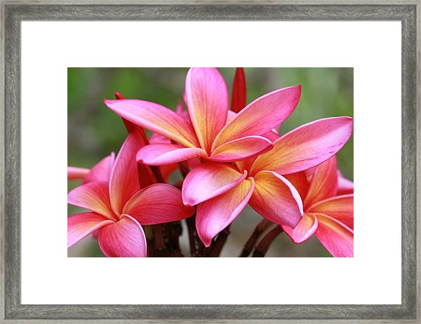 Pink And Yellow Plumeria On Barbados Framed Print