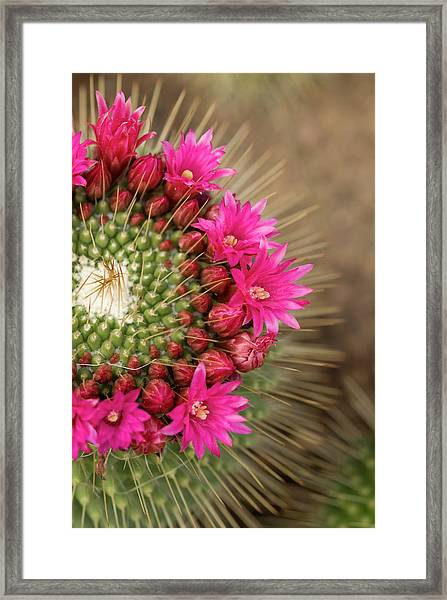 Pink Cactus Flower In Full Bloom Framed Print by Zepperwing