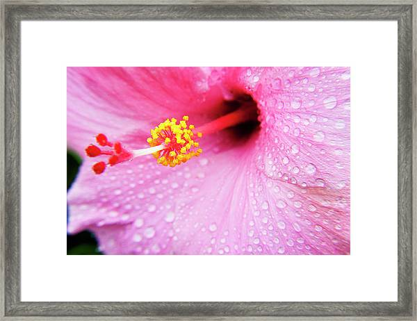 Pink Hibiscus Drops Framed Print