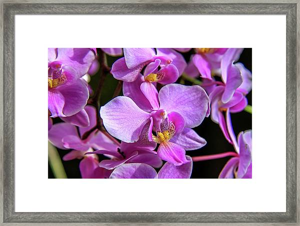 Framed Print featuring the photograph Pink Orchids by Dawn Richards