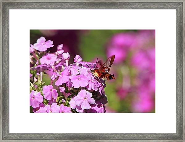 Pink Phlox And Clearwing Moth Framed Print