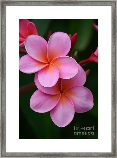 Pink Plumerias  Framed Print