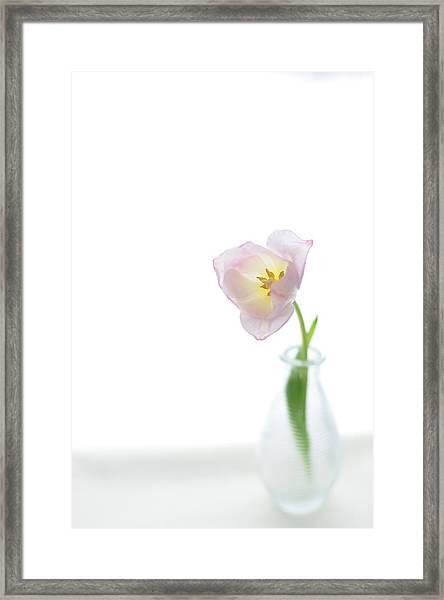 Pink Tulip In Glass Vase On White Framed Print