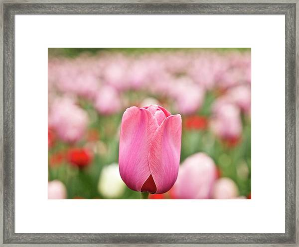 Pink Tulips Field Framed Print