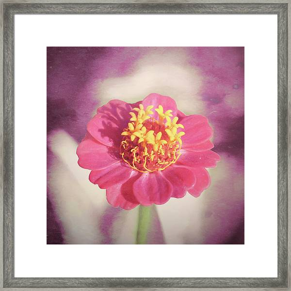 Pink Zinnia Isolated Framed Print
