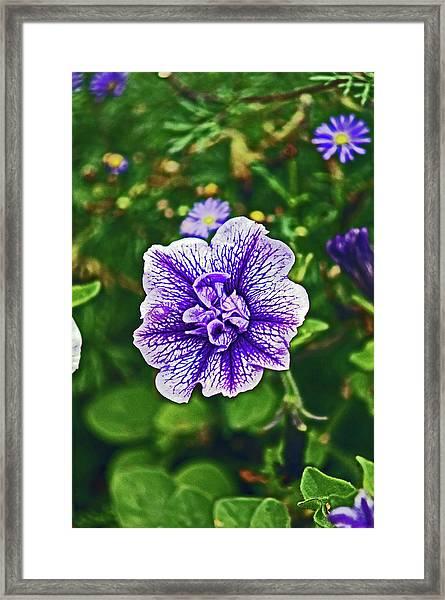 Pitlochry.  Purple Petunia. Framed Print