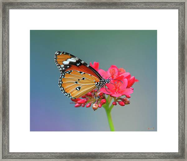 Plain Tiger Or African Monarch Butterfly Dthn0246 Framed Print