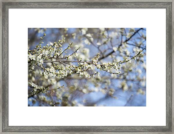 Plum Blossoms - 19 4907 Framed Print