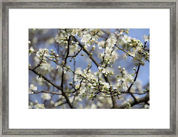 Plum Blossoms - 19 4915 Framed Print