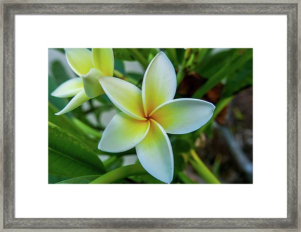Plumeria In Bloom Framed Print