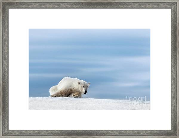 Polar Bear Crouching On The Frozen Snow Of Svalbard Framed Print
