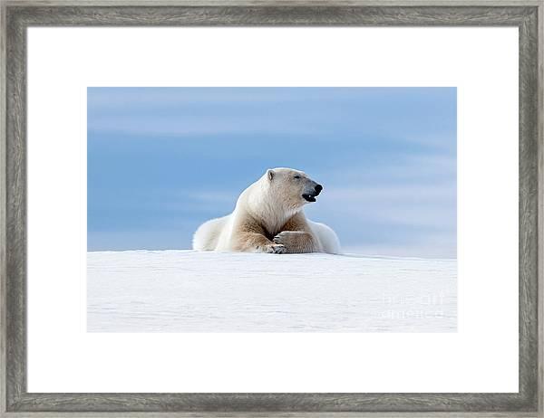 Polar Bear Laying On The Frozon Snow Of Svalbard Framed Print