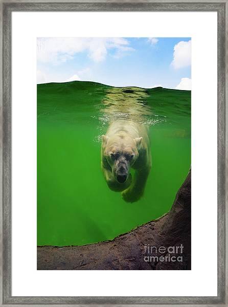 Polar Bear Underwater Framed Print