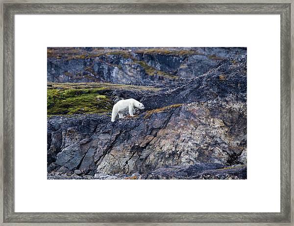 Polar Bear Ursus Maritimus On Land Framed Print