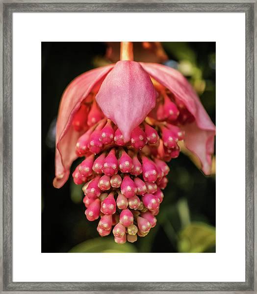 Pomegranate Flower Framed Print